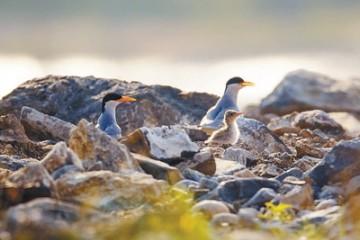 守护燕鸥在河之洲(共建万物和谐的美丽家园)